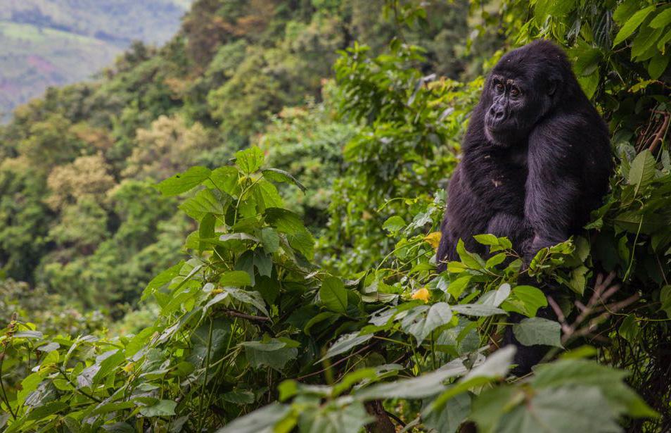 Gorilla Trekking-Volcanoes National Park- Rwanda