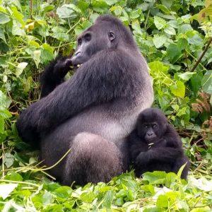 1 Day Gorilla Trekking Tour Mgahinga Gorilla National park Uganda