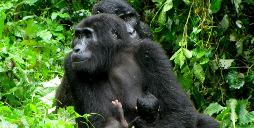4 Days Primate Safari-volcanoes National park-Rwanda