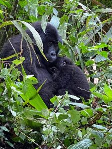 Best Time to Trek Mountain Gorillas Bwindi and Mgahinga