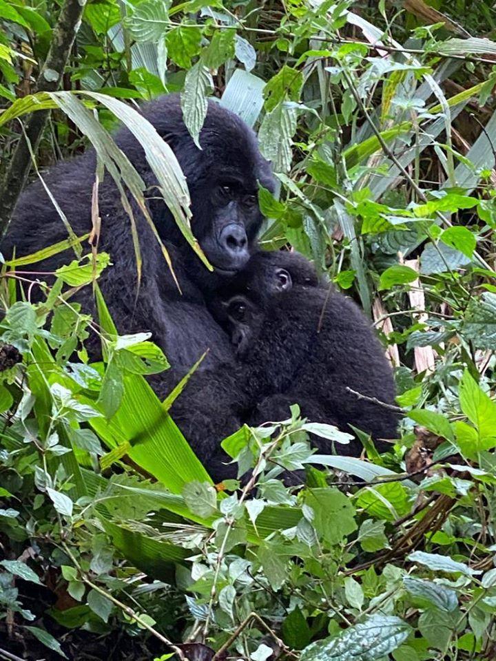Best Time to Trek Mountain Gorillas