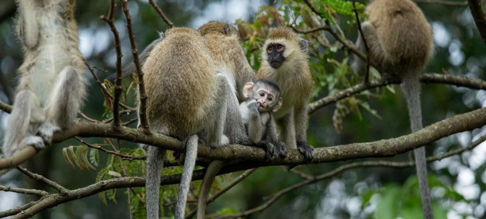 4 Days Gorilla & Golden Monkey trekking Safari-volcanoes National park-Rwanda