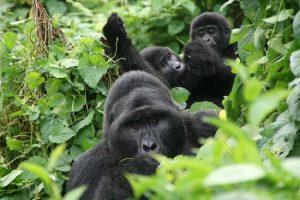 1 Day Gorilla Trekking Rwanda-Africa Treasure Home